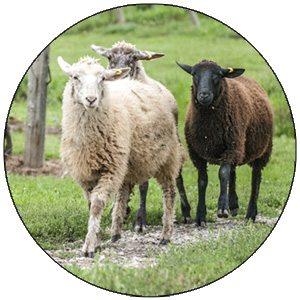 Sheep Labour