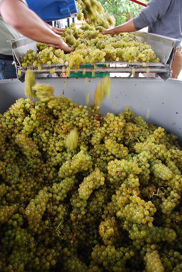 chard-grapes